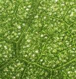 зеленая структура листьев Стоковое Изображение