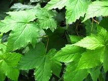 зеленая структура листьев Стоковое Изображение RF