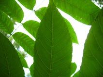 зеленая структура листьев Стоковое фото RF