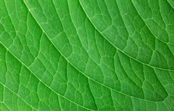 зеленая структура листьев Стоковое Фото