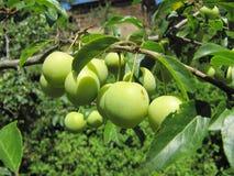 Зеленая слива вишни на ветви дерева Стоковые Изображения