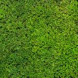 Зеленая текстура изгороди Стоковые Фотографии RF