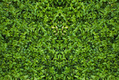 Зеленая текстура изгороди Стоковая Фотография RF