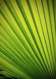 Зеленая текстура листьев ладони Стоковое Изображение