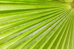Зеленая текстура листьев ладони Стоковое Фото