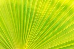 Зеленая текстура лист ладони Стоковые Фотографии RF