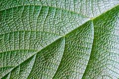 Зеленая текстура лист для предпосылки Картина листьев Стоковые Изображения RF