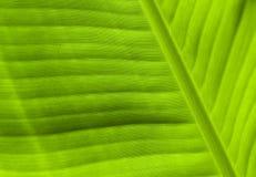 Зеленая текстура конца-вверх лист Естественный фон Тропическая деталь природы Стоковые Фотографии RF