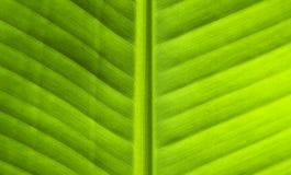 Зеленая текстура конца-вверх лист Естественный фон Тропическая деталь природы Стоковая Фотография RF