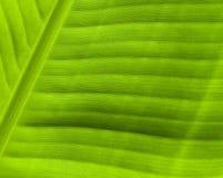 Зеленая текстура конца-вверх лист Естественный фон Тропическая деталь природы Стоковое фото RF