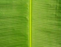 Зеленая текстура конца-вверх лист Естественный фон Стоковые Изображения