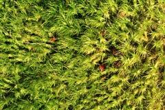 зеленая текстура мха Стоковые Изображения RF
