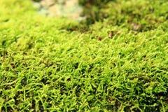 зеленая текстура мха Стоковые Изображения