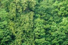 Зеленая текстура предпосылки стены деревьев Стоковое фото RF
