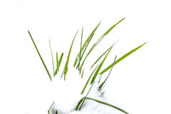 зеленая трава, белый снег, белизна зимы Стоковое Изображение