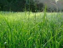 Зеленая трава в лесе с падениями росы стоковая фотография