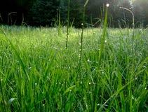 Зеленая трава в лесе с падениями росы Стоковые Фото