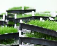 Зеленая трава в подносе стоковая фотография