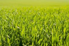 Зеленая трава в солнечности. Стоковая Фотография RF