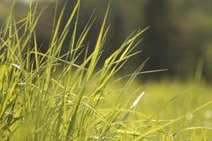 Зеленая трава в солнечности Стоковые Изображения