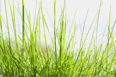 Зеленая трава загоренная солнцем утра Стоковая Фотография RF