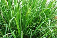 Зеленая трава лимона Стоковые Фотографии RF