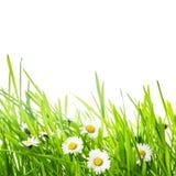 Зеленая трава и маргаритка Стоковые Изображения RF