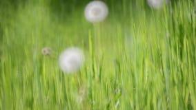 Зеленая трава и одуванчики сток-видео