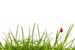 Зеленая трава и ladybug. стоковая фотография rf