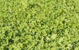 Зеленая трава ковра лета Стоковое Изображение RF