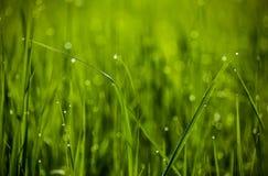 Зеленая трава Конец-вверх падений росы на свежей зеленой траве весны _ Стоковое Фото