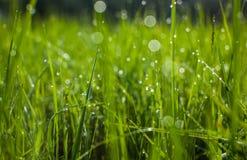 Зеленая трава Конец-вверх падений росы на свежей зеленой траве весны Стоковое фото RF