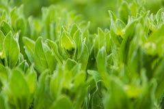 Зеленая трава - одичалый салат Стоковые Фотографии RF