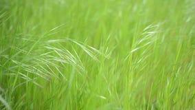 Зеленая трава пошатывая в ветре акции видеоматериалы