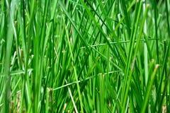 Зеленая трава пошатывая в ветре Стоковые Фото