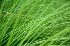 Зеленая трава пошатывая в ветре Стоковые Изображения RF