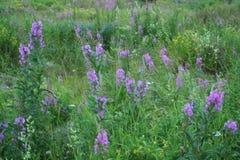 Зеленая трава, полевые цветки, живая природа севера Стоковое Изображение RF