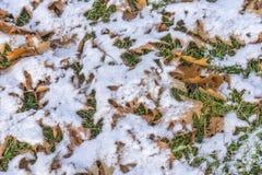Зеленая трава под оранжевым дубом осени выходит и светлый снег Стоковая Фотография