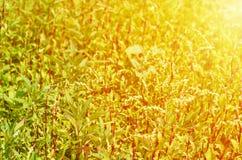 Зеленая трава поля на заходе солнца против предпосылки голубые облака field wispy неба природы зеленого цвета травы белое Стоковые Фото