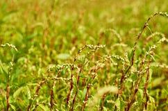Зеленая трава поля на заходе солнца против предпосылки голубые облака field wispy неба природы зеленого цвета травы белое Стоковое Изображение