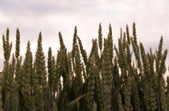Зеленая трава, урожай, пшеница против неба Стоковая Фотография RF