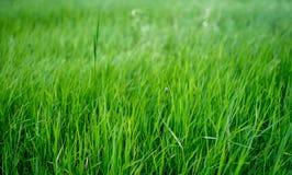 Зеленая трава Стоковое Изображение