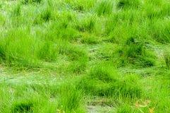 Зеленая трава Стоковое Изображение RF
