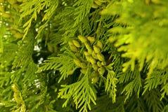 Зеленая туя в парке Стоковое Изображение