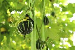 зеленая тыква Стоковые Фото