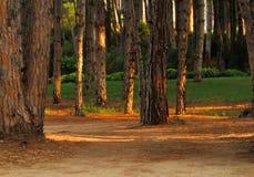 Зеленая лужайка в сосновом лесе Стоковые Изображения