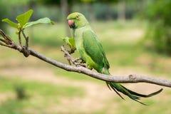 Зеленая удача говоря попугая на ветви дерева Стоковые Фотографии RF
