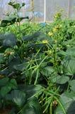 Зеленая фасоль Стоковое Изображение RF