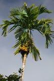 Зеленая финиковая пальма Стоковое фото RF