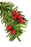Зеленая хворостина yew с красными ягодами yew на белой предпосылке Стоковое Фото